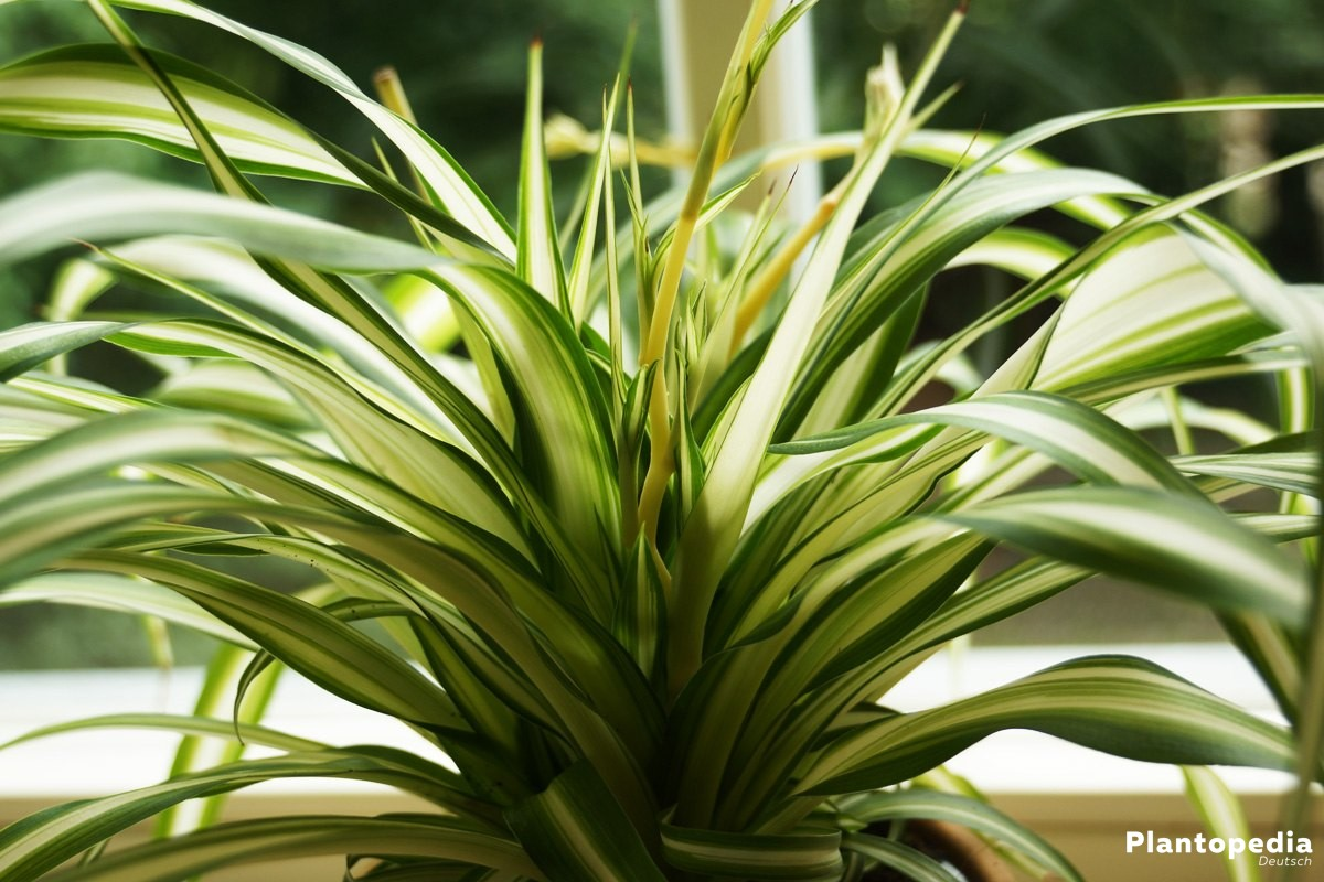 Chlorophytum comosum, Grünlilie - eine attraktive Zimmerpflanze