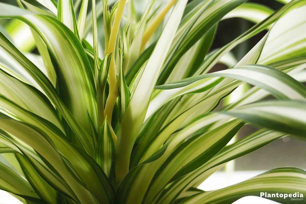 Chlorophytum comosum, Grünlilie gehört zu den Grasliliengewächsen