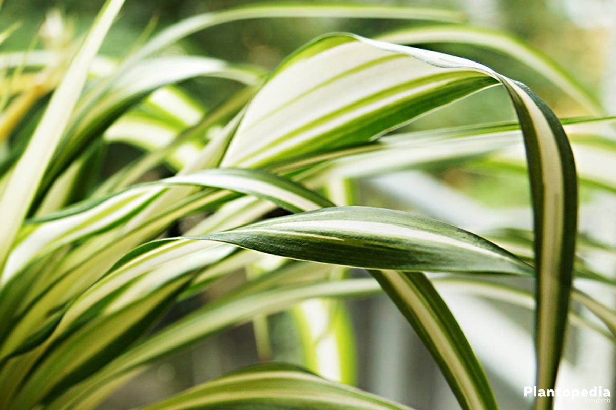 Grünlilie mit grün-weiß gestreiften, langen, dünnen Blättern