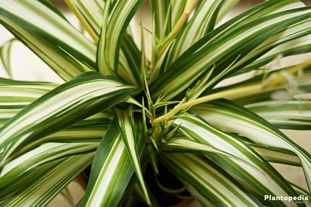 Chlorophytum comosum auch Sachsenlilie genannt, wegen ihrer weiß-grünen Farben