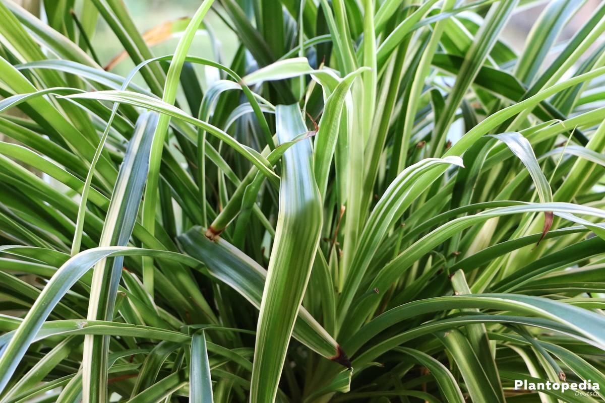 Grünlilie eine anspruchslose Pflanze mit dichtem Wuchs