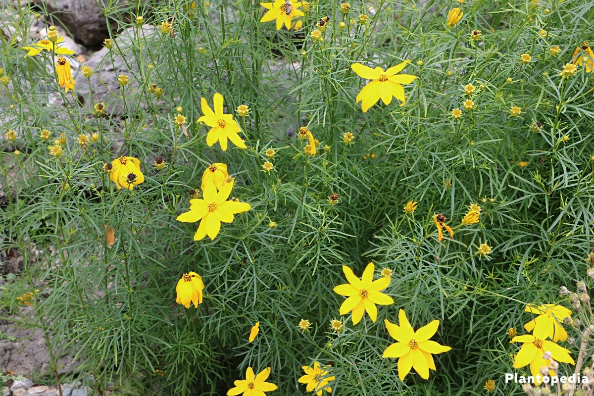 Coreopsis, Mädchenaugen, Schöngesicht - eine charmante, leuchtende Pflanze