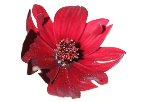 Cosmos atrosanguineus, Schokoladenblume stammt aus Mexiko