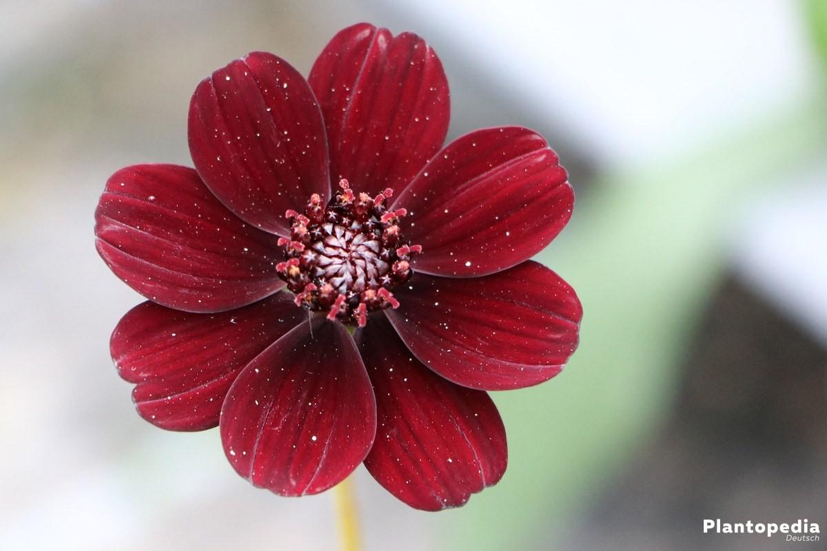 Blüte der Schokoladenblume