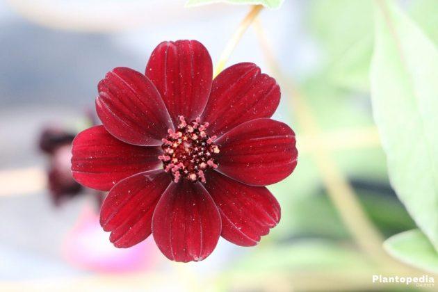 Schokoladenblume ist ein florales Schmuckstück