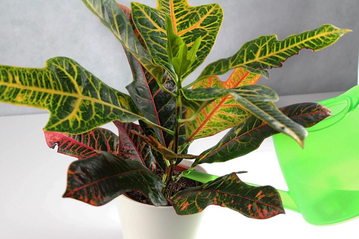 Kroton, Codiaeum variegatum - ein exotischer Wunderbaum