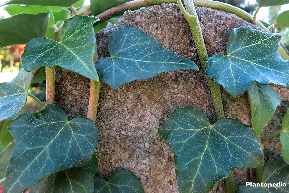 Hedera helix als Kletter- oder Hängepflanze