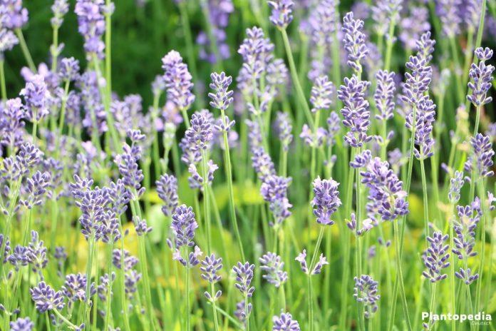 lavandula angustifolia pflege lavendel staude lavandula angustifolia pflanze echter lavendel. Black Bedroom Furniture Sets. Home Design Ideas