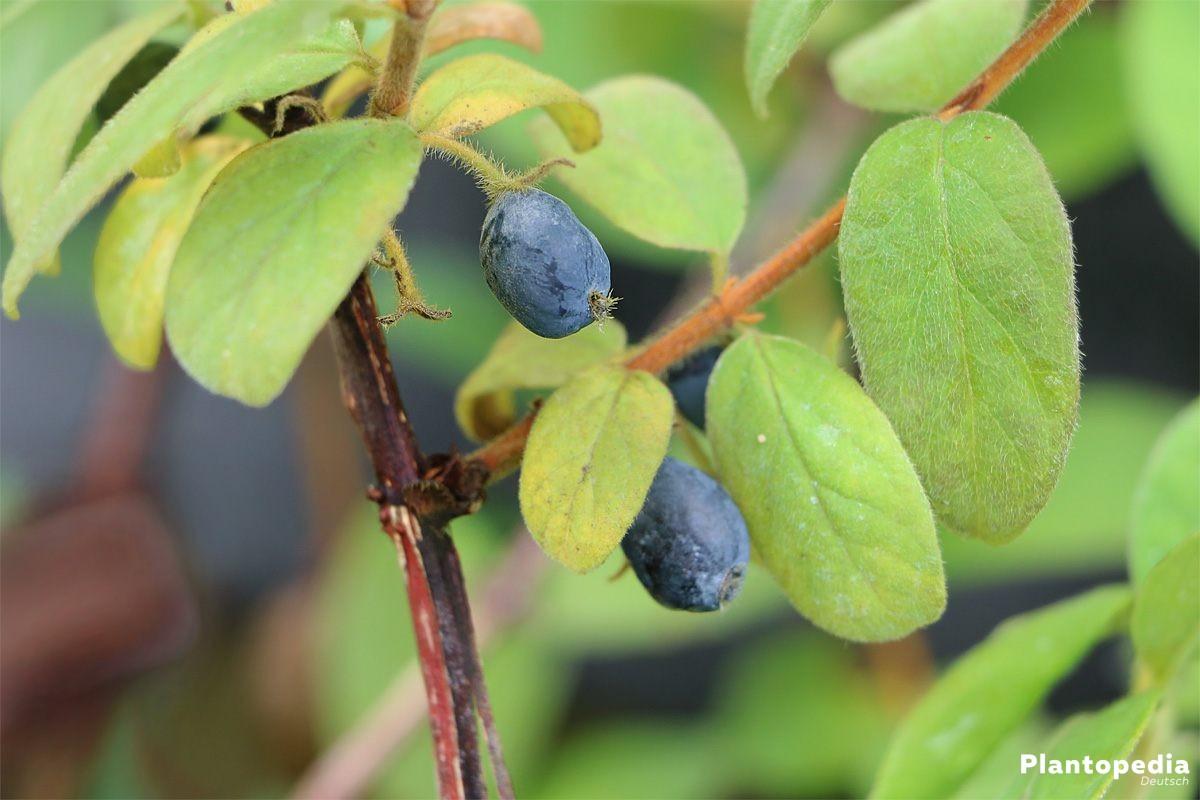 Lonicera Kamtschatica auch Maibeere oder Honigbeere genannt
