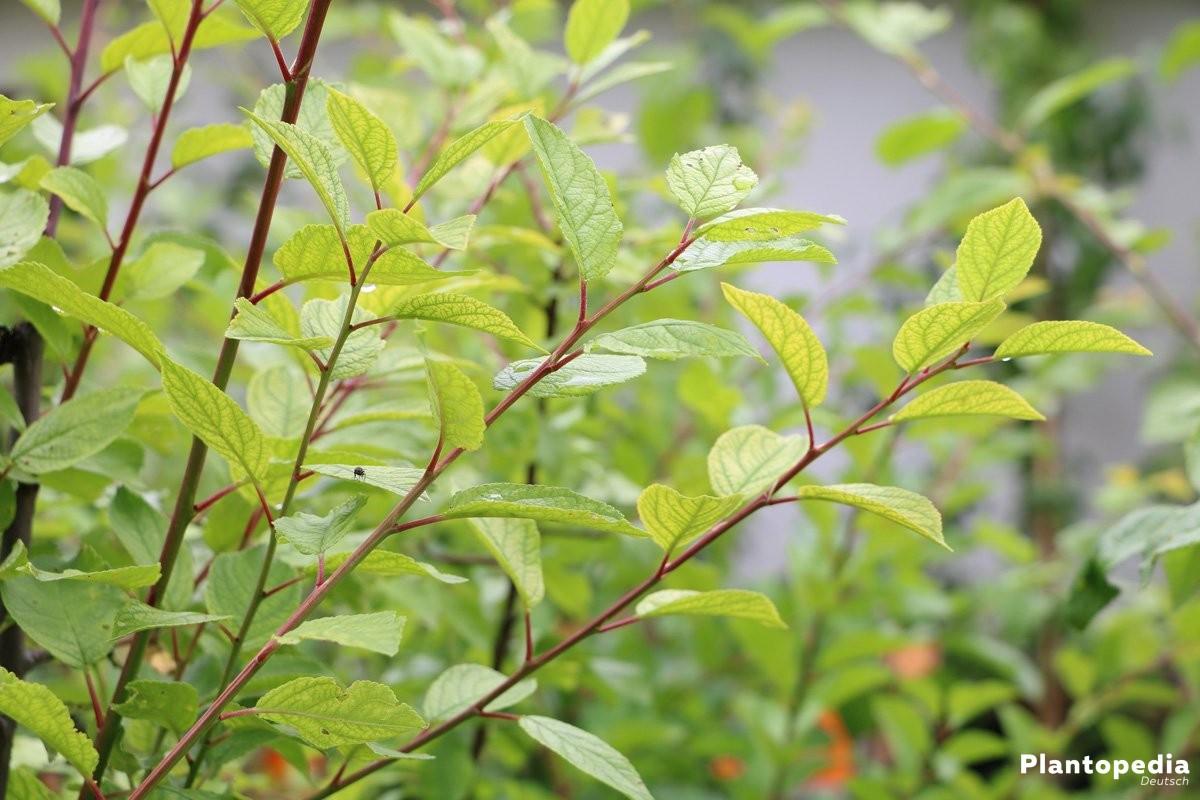 Lonicera kamtschatica - eine sehr artenreiche Gattung