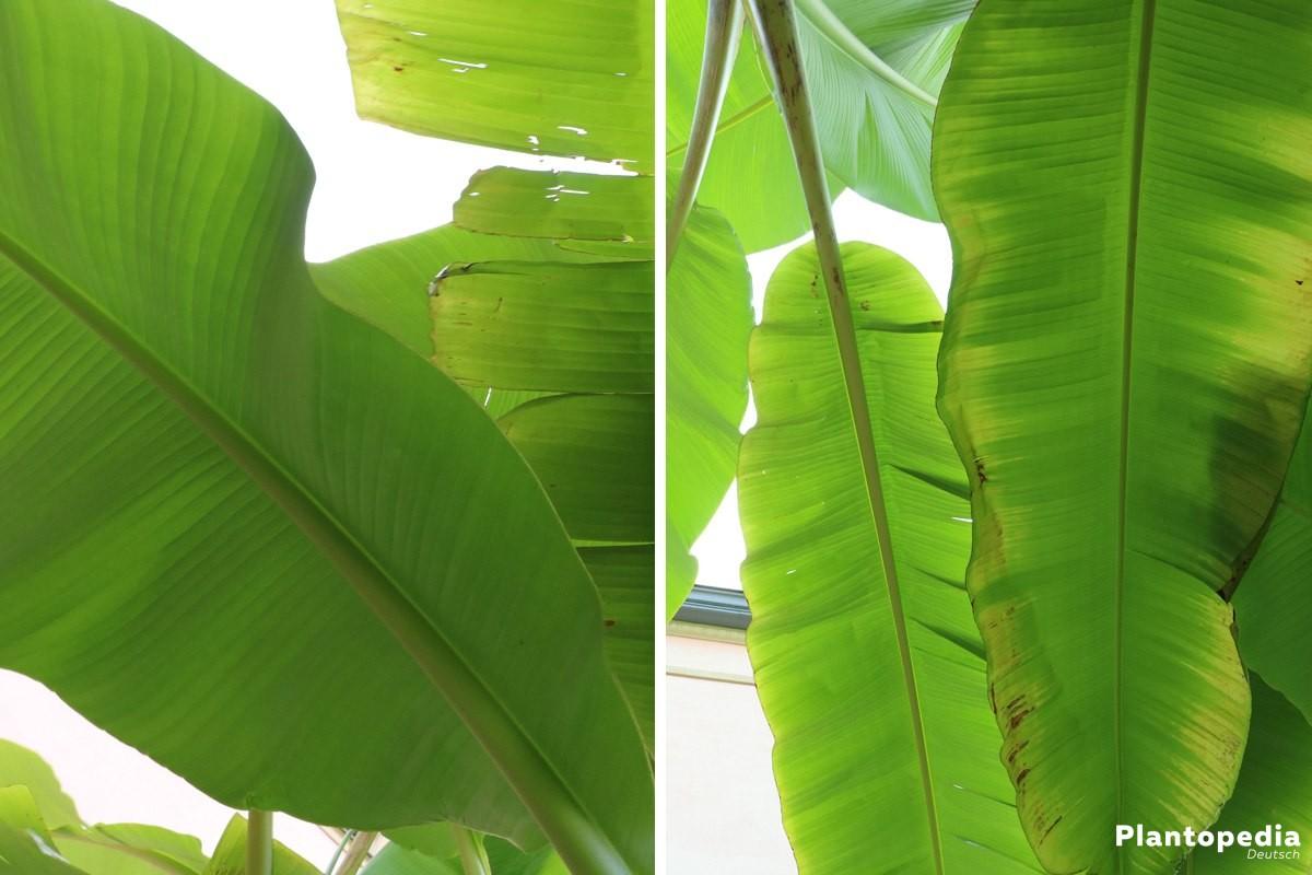 bananenpflanze selber ziehen anzucht und pflege anleitung plantopedia. Black Bedroom Furniture Sets. Home Design Ideas