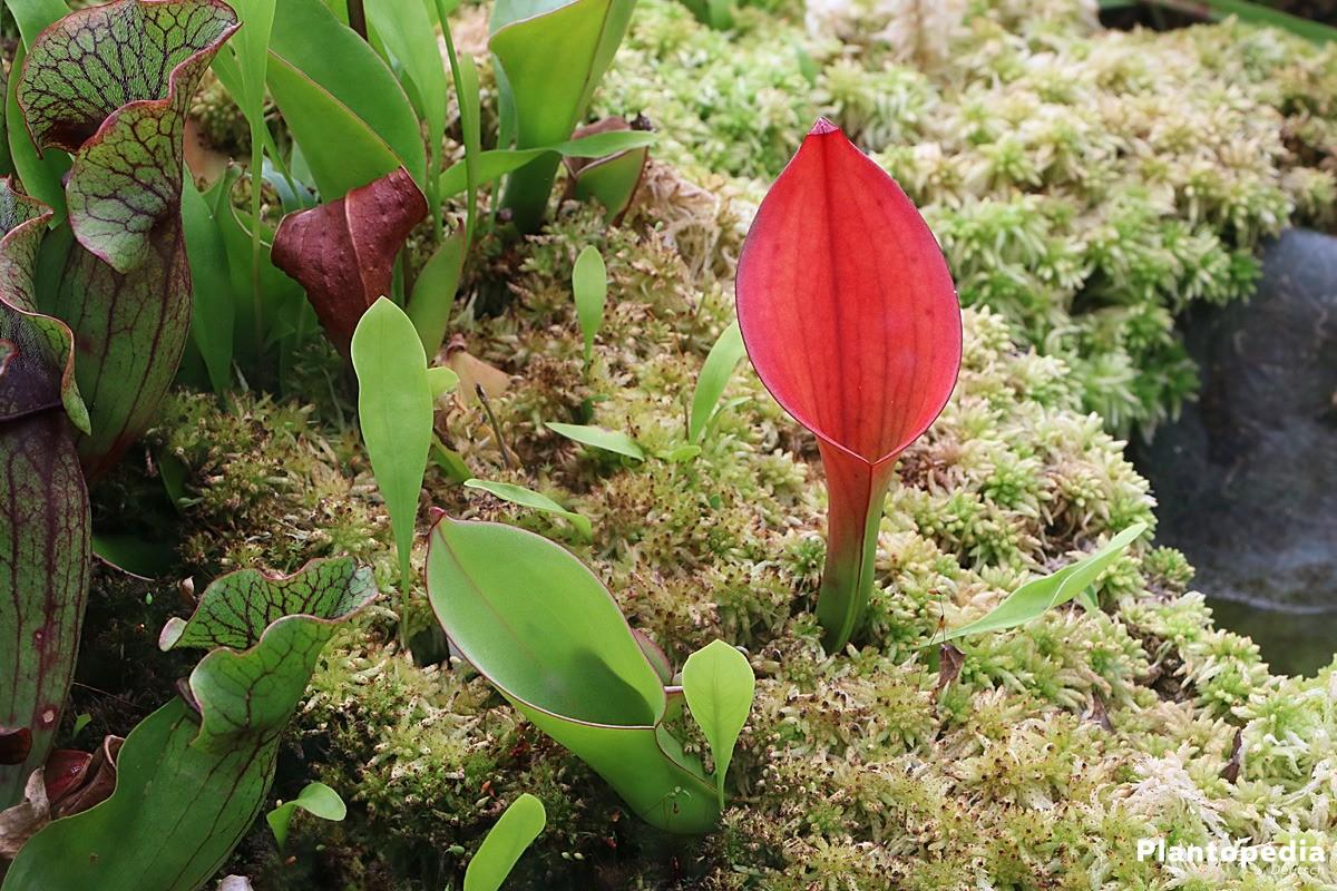 Kannenpflanzen, Nepenthes - verschiedene Sorten