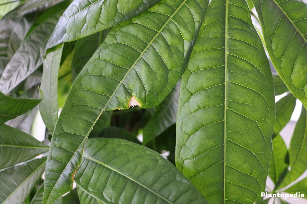 Glückskastanie - Blätter