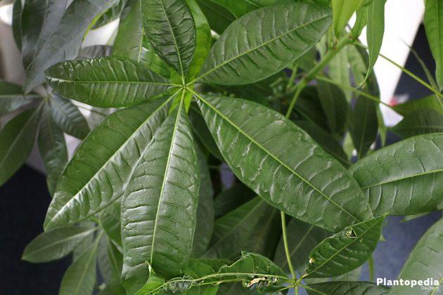 Pachira aquatica wird auch Geldbaum oder wilder Kakaobaum genannt