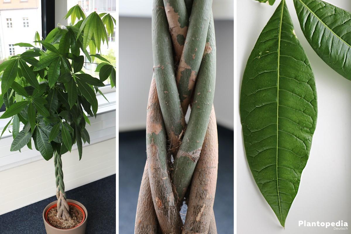 Pachira aquatica, Glückskastanie - eine dekorative Pflanze