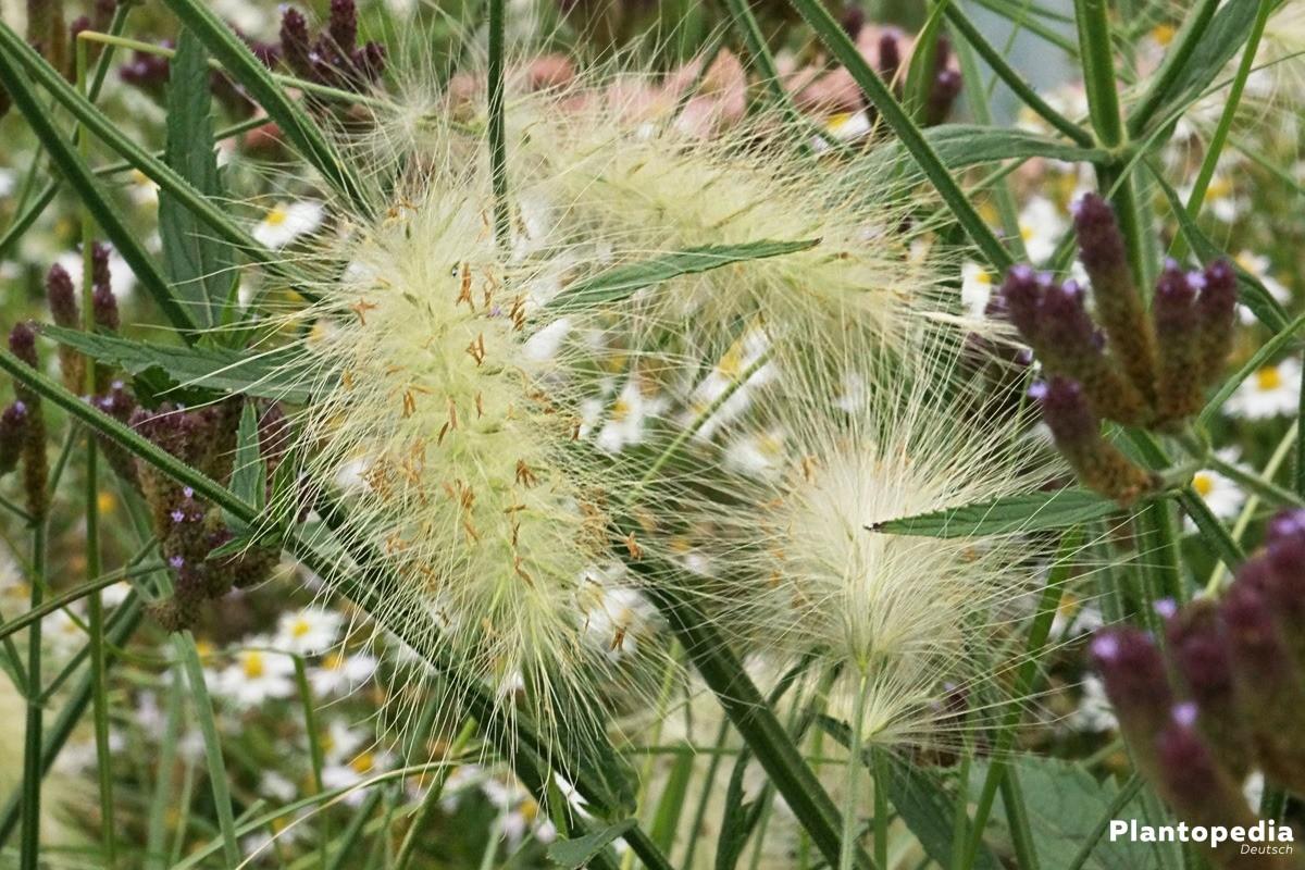 Pennisetum alopecuroides sind Lückenfüller im Blumenbeet