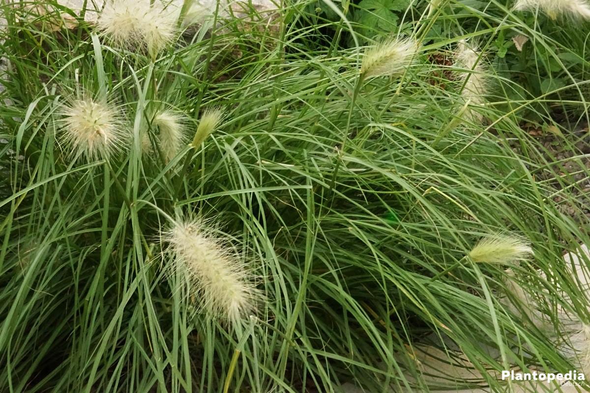 Lampenputzergras, Pennisetum alopecuroides mit weißen Federborsten
