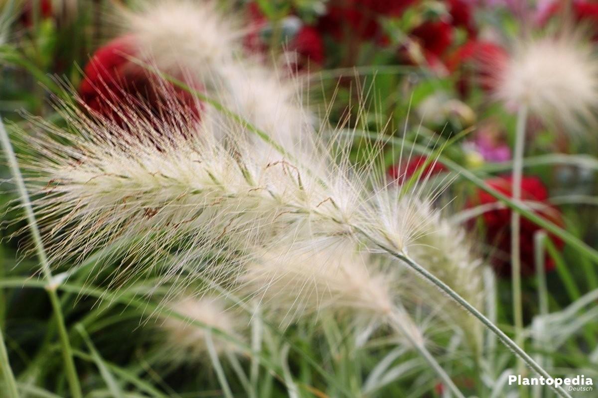 Pennisetum alopecuroides gehört zur Pflanzenfamilie der Süßgräser