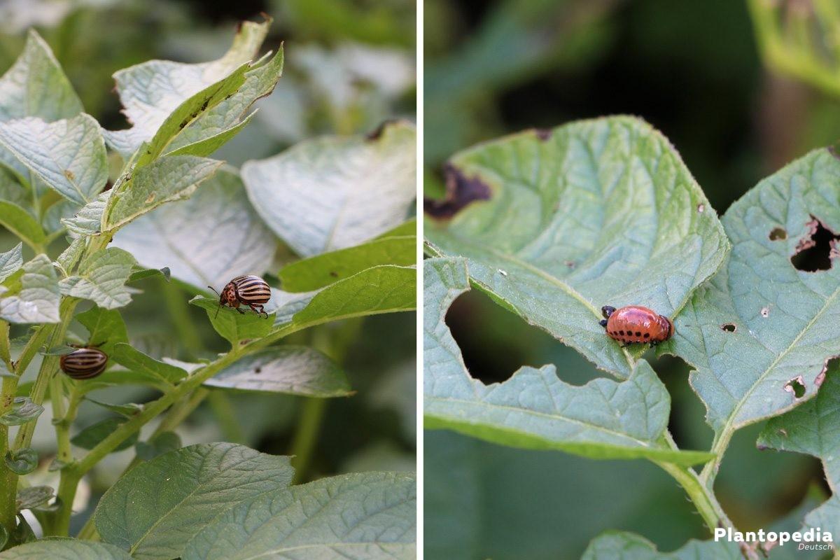 Solanum Tuberosum - Verschiedene Schädlinge