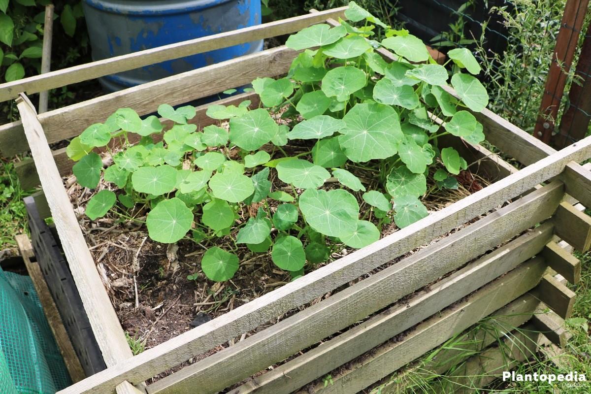 Kapuzinerkresse auf dem Kompost