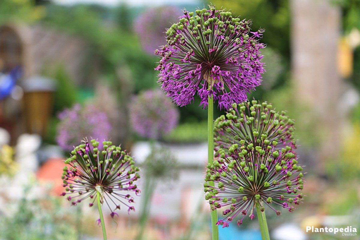 Allium - eine Zwiebelpflanze