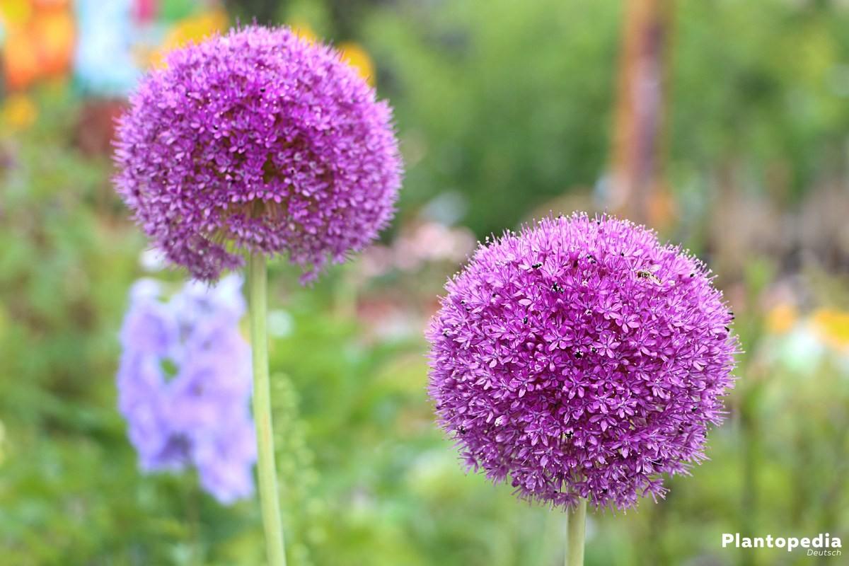 Zierlauch, Allium