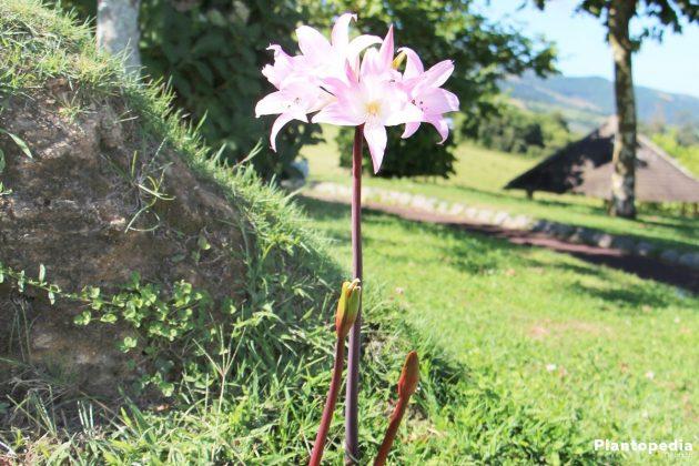 Amaryllis belladonna, Belladonnalilie