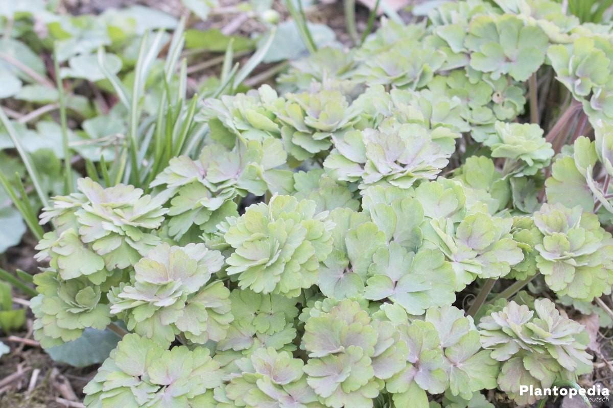 Aquilegia, Akeleien mit grünen Blättern