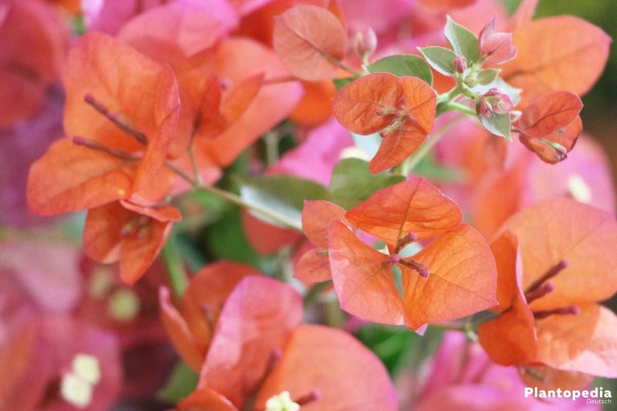 Drillingsblume mit orangener Blütenfärbung