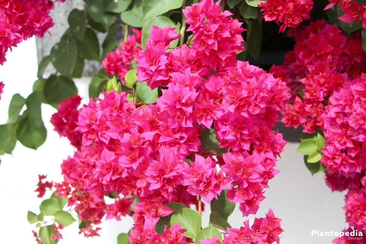 Drillingsblume, Bougainvillea - Pflanzen, Pflege Und Überwintern ... Exotische Pflanzen Garten Bougainvillea Drillingsblume