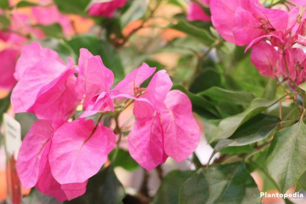 drillingsblume bougainvillea pflanzen pflege und berwintern plantopedia. Black Bedroom Furniture Sets. Home Design Ideas