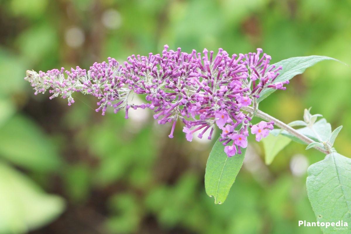Sommerflieder, Buddleja - hat unzählige Blütenrispen