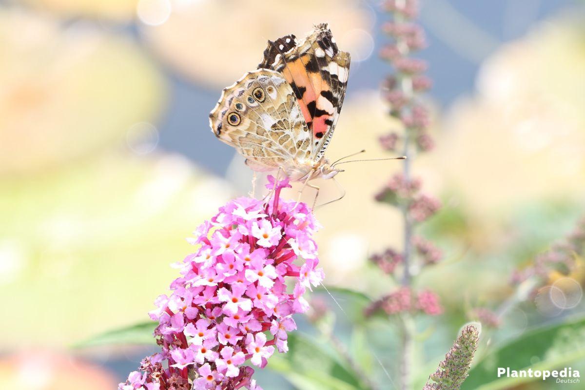 Sommerflieder lockt Schmetterlinge in den Garten