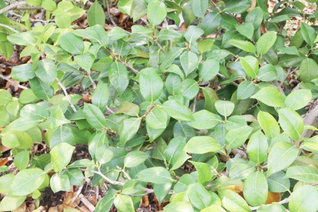 Kamelien, Camellia japonica im Garten