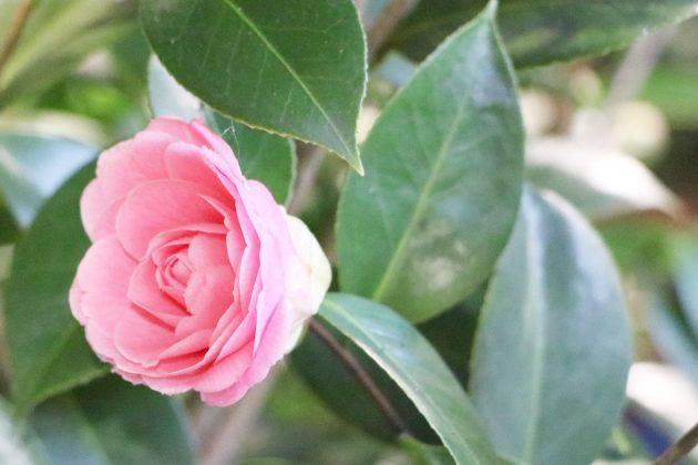 Camellia japonica wächst bis zu 7 Meter hoch