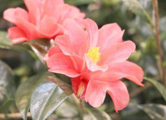 Kamelien, Camellia japonica