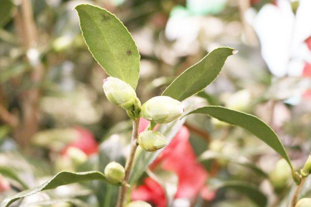 Camellia japonica mit geschlossenen Blütenknospen
