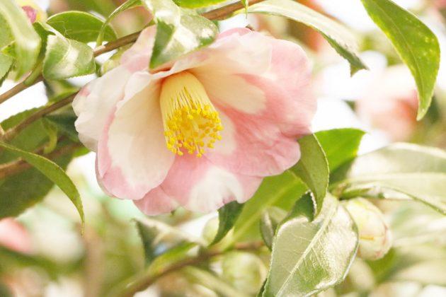 Camellia japonica in zarter Blütenfarbe
