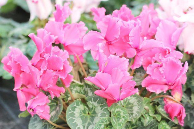 Cyclamen mit pinkfarbenen Blüten