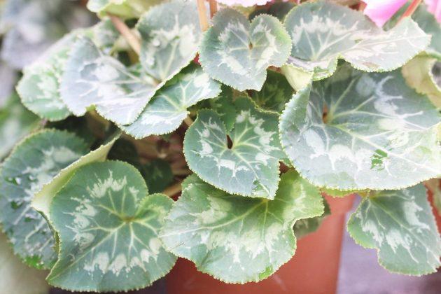 Cyclamen mit langstieligen, gefransten Blättern