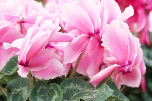 Cyclamen mit rosafarbenen, gefransten Blüten