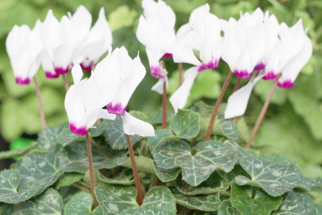 Cyclamen mit zweifarbiger Blüte