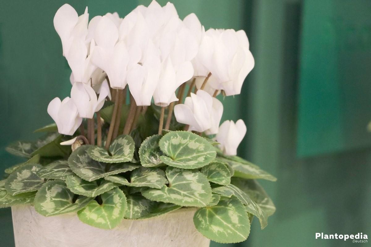Cyclamen, Alpenveilchen im Blumentopf