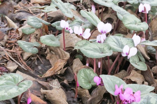 Cyclamen purpurascens