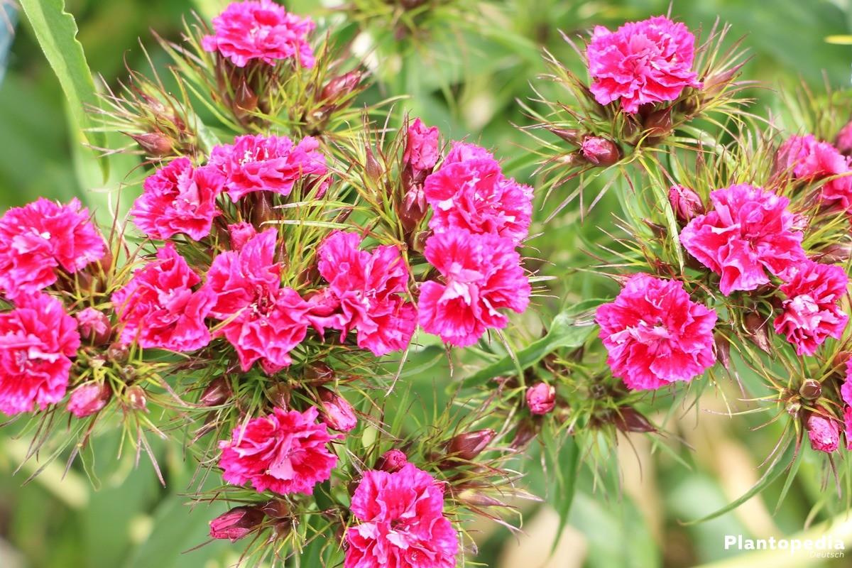 Nelken auch als Schnittblumen geeignet