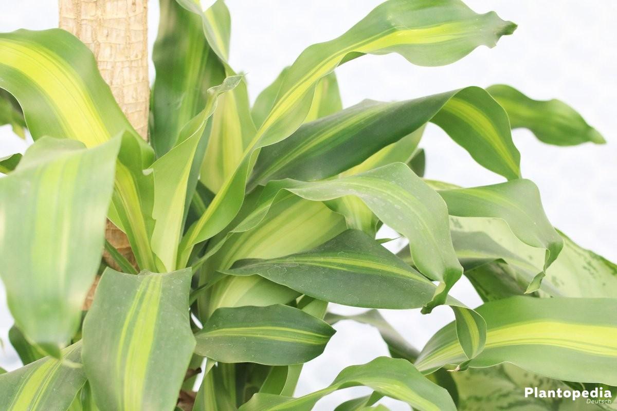 drachenbaum dracaena marginata pflege und schneiden plantopedia. Black Bedroom Furniture Sets. Home Design Ideas