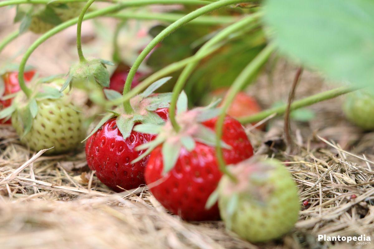 erdbeerpflanzen erdbeeren anbauen erdbeersorten und pflege plantopedia. Black Bedroom Furniture Sets. Home Design Ideas