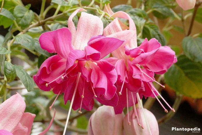 Fuchsien, Fuchsia