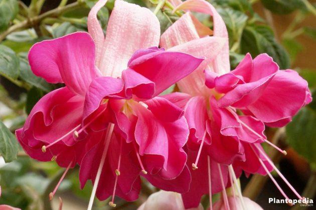 Fuchsia mit voller Blütenform
