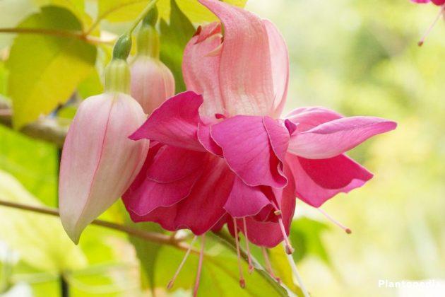 Fuchsia bevorzugen einen vollsonnigen Standort
